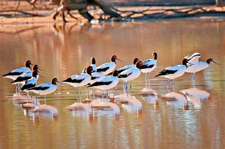 Red Necked Avocet, Kilcowera Station - Outback Queensland.