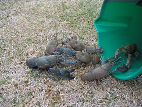 Yabbies caught at Kilcowera Station SW Qld.