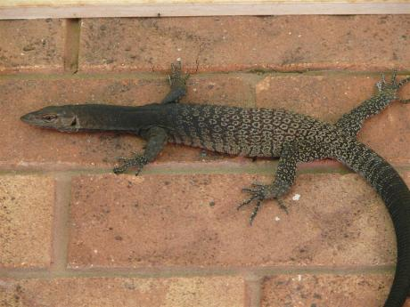 Black goanna at Kilcowera Station, Outback Australia.