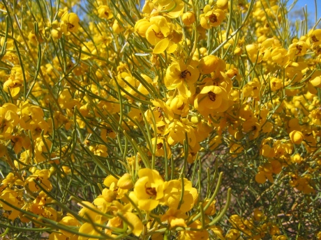 Cassia or Broom Bush, Kilcowera Station, Outback Queensland.