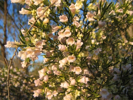 Eremophylla sturtii, Kilcowera Station, Outback Australia.