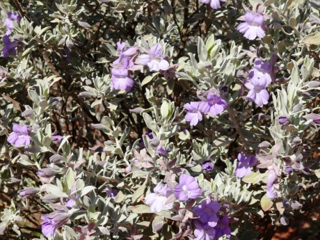 Silver Turkey Bush, Kilcowera Station, Outback Queensland.