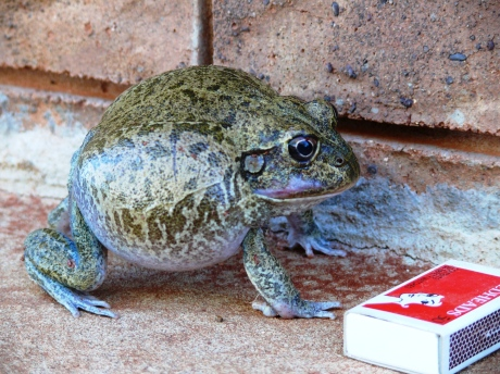 A nice big burrowing frog   at Kilcowera Station.  Cute, isn't he??
